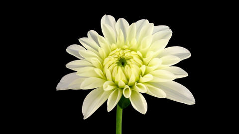Time-lapse blooming white dahlia 1 isolated on black Stock Video Footage