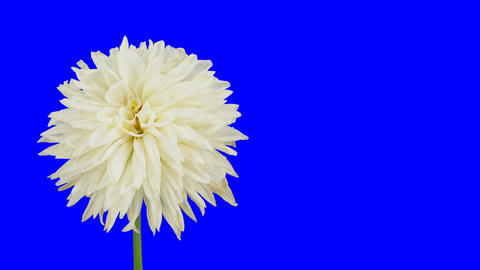 Time-lapse of dying white dahlia 3 chroma key Stock Video Footage