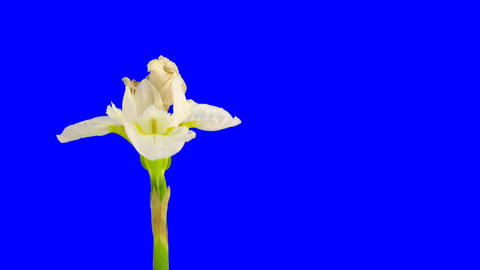 Time-lapse of dying and opening white iris 1 chroma key Stock Video Footage