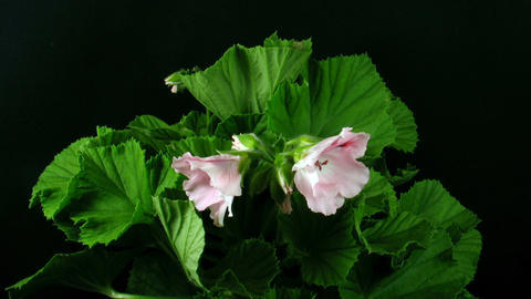 Time-lapse of opening pink pelargonium 1 Stock Video Footage