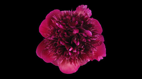 Time-lapse of dying red peony 3 isolated on black top Stock Video Footage