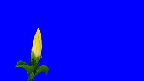 Time-lapse of white hibiscus flower opening 7 chroma key Stock Video Footage