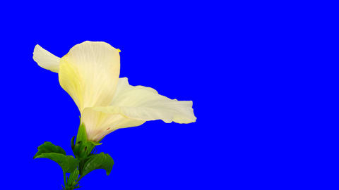 Time-lapse of white hibiscus flower opening 7 chroma key Footage