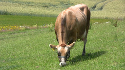 Grazing jersey dairy cow at pasture Stock Video Footage