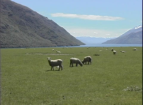 A medium shot of sheep grazing on a farm in South Island, New Zealand Footage