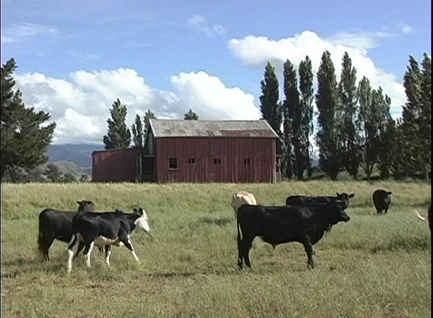A medium shot of an old red barn in New Zealand, with cattle grazing in the foreground Footage