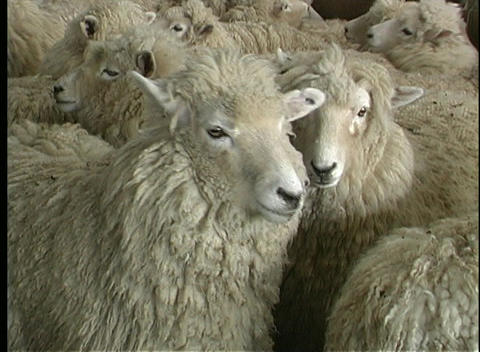 A flock of sheep gather in New Zealand Stock Video Footage