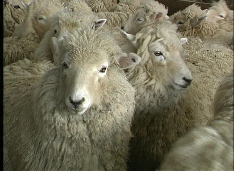 A flock of sheep gather in New Zealand Footage