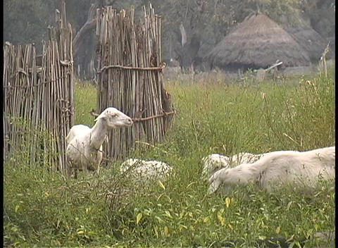 A medium-shot of sheared sheep grazing on a farm in West... Stock Video Footage