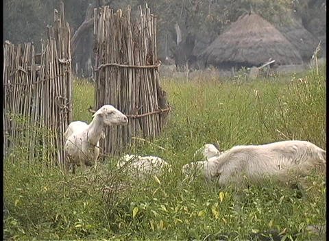 A medium-shot of sheared sheep grazing on a farm in West Africa Footage