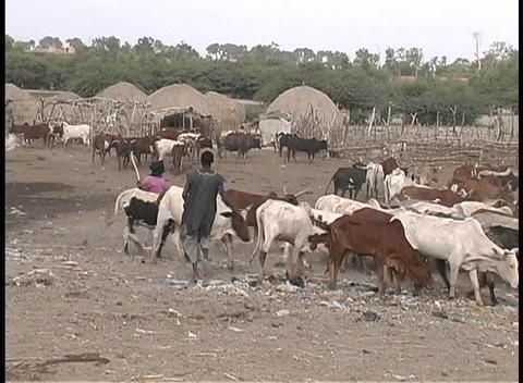 people herding cattle in a village in Senegal, West Africa Stock Video Footage
