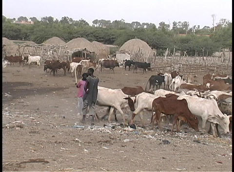 people herding cattle in a village in Senegal, West Africa Stock Video Footage