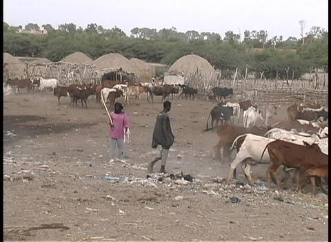 people herding cattle in a village in Senegal, West Africa Footage