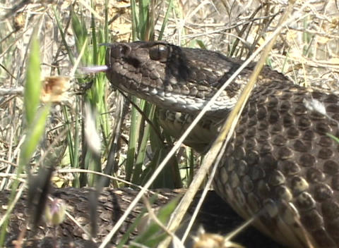 A rattlesnake coils in the grass ready to strike Footage