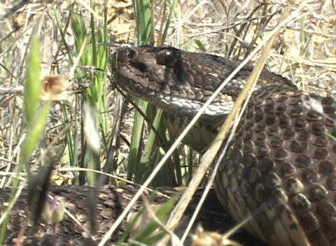 A rattlesnake coils in the grass ready to strike Stock Video Footage