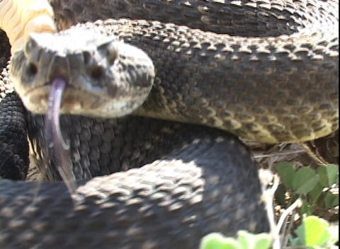 A rattlesnake coils and prepares to strike Stock Video Footage