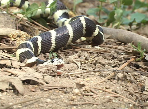 A black and yellow snakes writhes on the forest floor Stock Video Footage