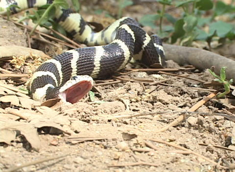 A black and yellow snakes writhes on the forest floor Footage