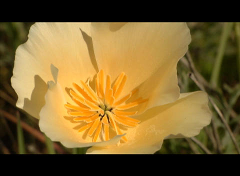 A yellow flower waves in the breeze Stock Video Footage
