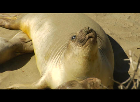 Sea Lions gather on a beach Footage