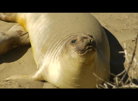 Sea Lions gather on a beach Stock Video Footage