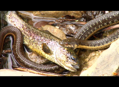 A snake holds a fish on the bank of a river Footage