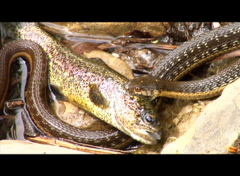 A snake holds a fish on the bank of a river Stock Video Footage
