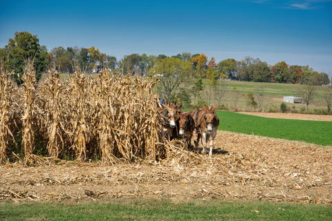 Cornfield with donkeys dragging the farming equipment フォト