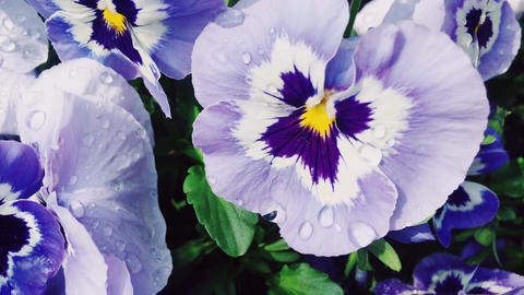 Purple flowers with morning dew water drops in garden as nature, floral and Acción en vivo