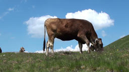 Cow grazing Footage