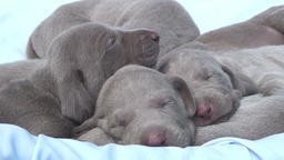 Weimaraner pets sleeping Footage