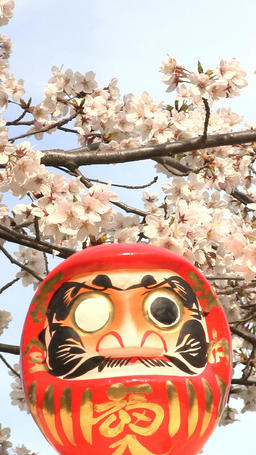 Cherry blossoms and Daruma statue Footage
