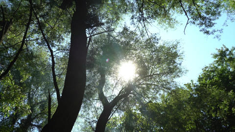 The summer sun peeks through the green crown of large trees and smoke from a bonfire Live Action