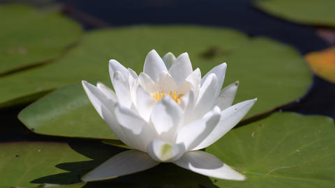 Green leaves and white lotus flower swing in the waves. Waves and reflections on the lake, pond, Live Action