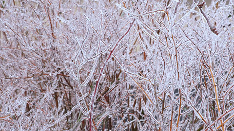 Frost, icing on branches. Beautiful natural background with shrub branches covered with shiny ice Live Action