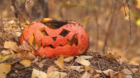 Bugs eating old rotten pumpkin Jack lantern in nature Live Action