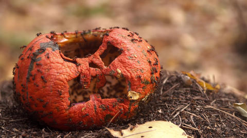 Colony of ants eats an old battered and rotten pumpkin Live Action