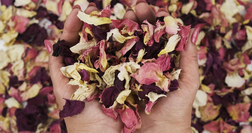 Female hands hold dry rose petals in their palms and threw on a heap of dry rose Live Action