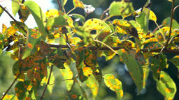 affected by the fungal disease Gymnosporangium sabinae pear Live Action
