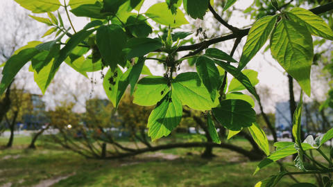 Fresh green leaves in spring, close-up branch of tree as nature, environment and Live Action