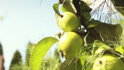 Green Apple Tree and Apples on It Footage