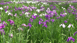 Iris garden Footage