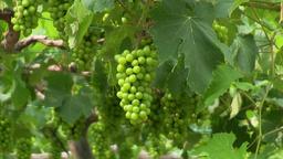 Grape vines Footage