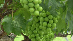 Grape vines Footage