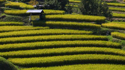 Rice Paddy, Osaka, Japan Footage