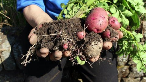 Freshly harvested organic potatoes held in a woman's hands Footage