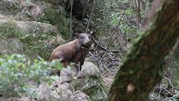 Wild boar, Hyogo Prefecture, Japan Footage