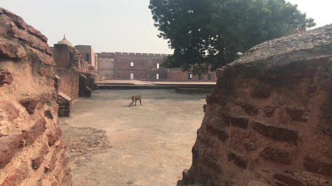 Agra, India - Agra Fort, monkey walks in the fort Live Action