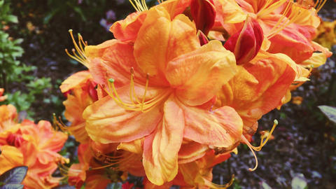 Orange flowers blossom in summer garden, flowers in bloom, floral and nature Live Action
