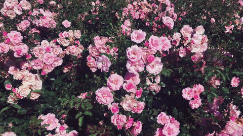 Wonderful rose garden, blooming pink roses on sunny day outdoors as nature Live Action